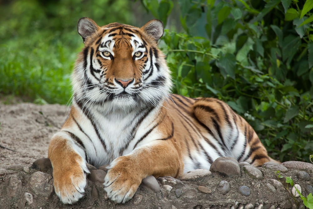 Siberian Tiger endangered species