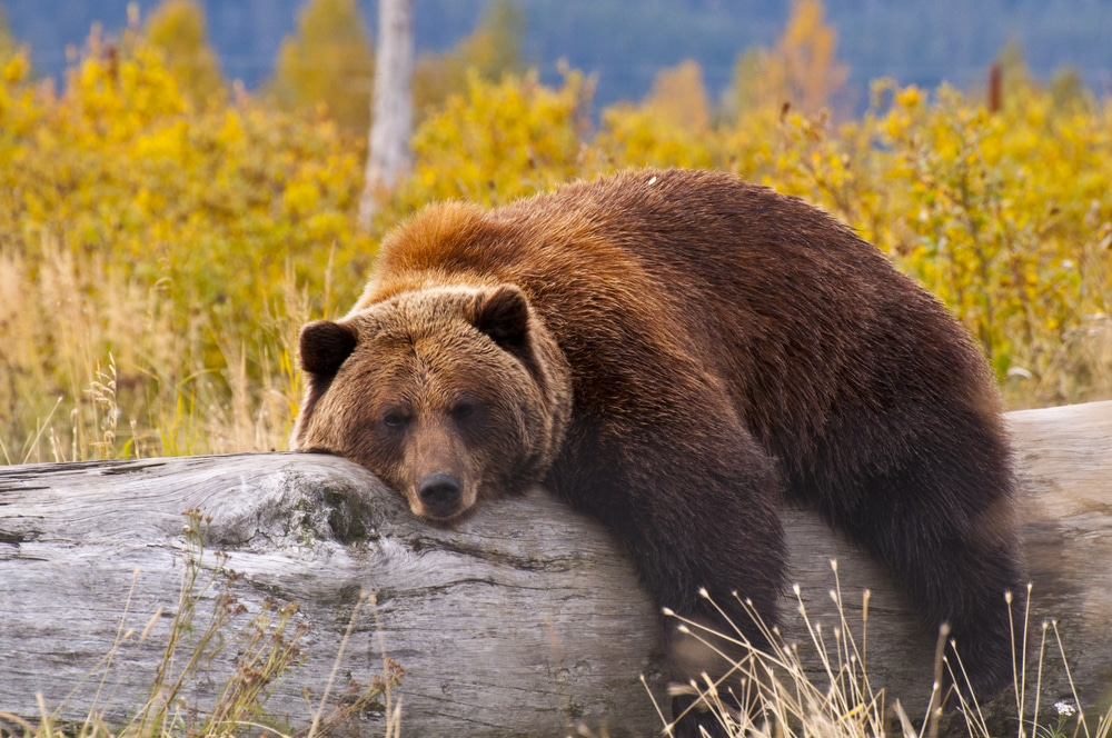 grizzly bear endangered species